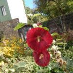 Osho Mauz Berlin Hinterhof mit Blume